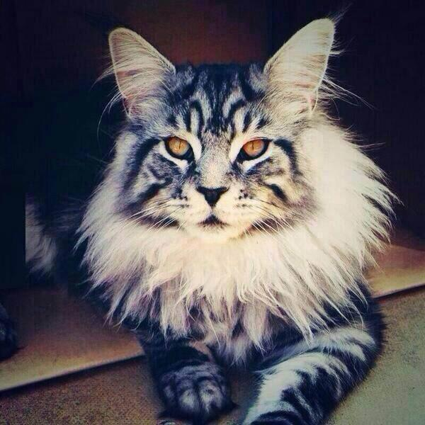 Тhis is what a Silver Classic Tabby Maine Coon looks like: http://t.co/rcLyaAU8Z8