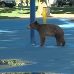 Are bears a problem in Kamloops? @Raffelina_CFJC speaks with @wildsafebc | VIDEO: http://t.co/yNOSjJqBS2 http://t.co/iSwyDqNBGP