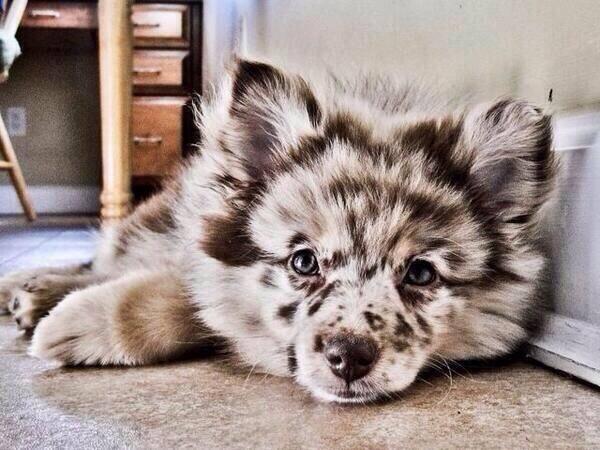 Pomeranian / Australian Shepard Mix: http://t.co/JlZkzY7bZB