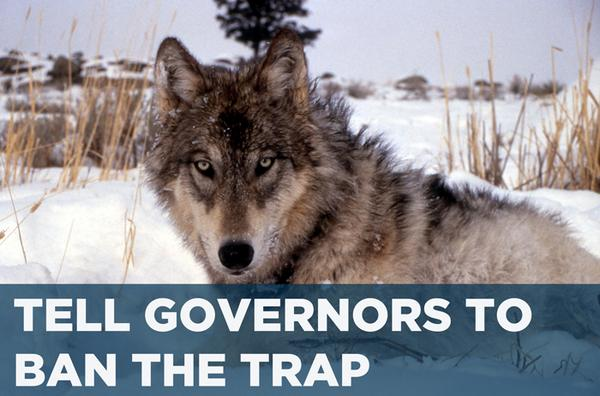 Trapping is indiscriminate and inhumane. Tell Governors to #BanTheTrap http://t.co/CDcczMKXbj http://t.co/AJIJfrYgbj