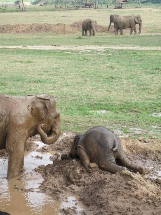 Baby elephants throw themselves into the mud when they get upset. http://t.co/dY19jJ4tRy