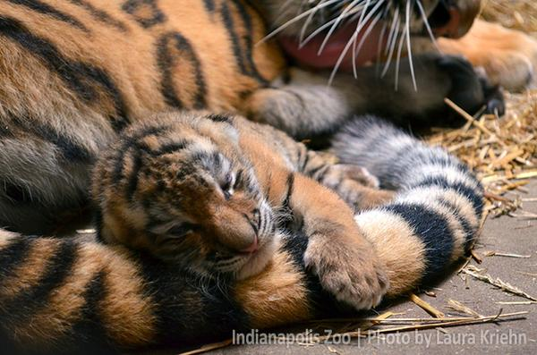 Celebrating #GlobalTigerDay by announcing our new Amur tiger cub born July 10! Mom Andrea & baby both doing well! http://t.co/a7nkO69T35