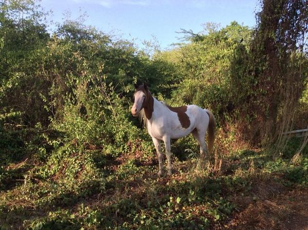 Things to love about Vieques Island. #1 Wild horses are everywhere. http://t.co/xBza097o5A
