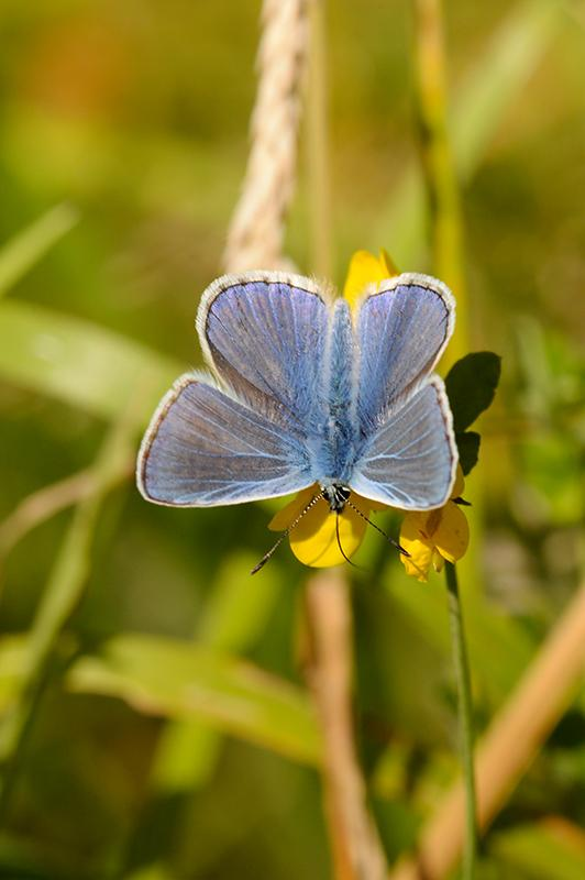 Must have been a recent emergence of common blues in our paddock because I saw quite a few this morning. #butterfly http://t.co/4YZfLF75GH