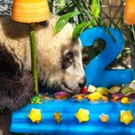 """@guardian: A giant panda celebrates his second birthday with a specially made cake - video http://t.co/ICxNCAALFL http://t.co/EYU3UPfyhF"""
