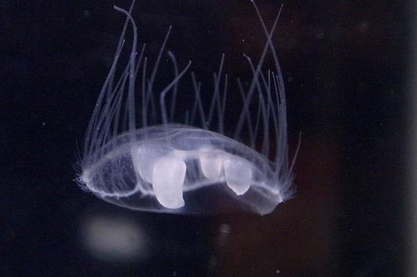 100s of Amazonian jellyfish invade Mersey canal..and the hot weather may be to blame: http://t.co/lZ1zAzhV4o http://t.co/gl1zrATGKs