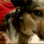 RT @Ch2KTUU: Meet Kokoa, a female Corgsky rescued from #Nome that needs a home, on 2 The Rescue: http://t.co/i7VfvtmwhG #ktuu http://t.co/JyG17NhIcp
