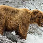 RT @TelegraphTravel: Fantastic shots of bears catching salmon in Alaska (pictures by Roberta McFall) http://t.co/w2KlohTKuz http://t.co/fdG…