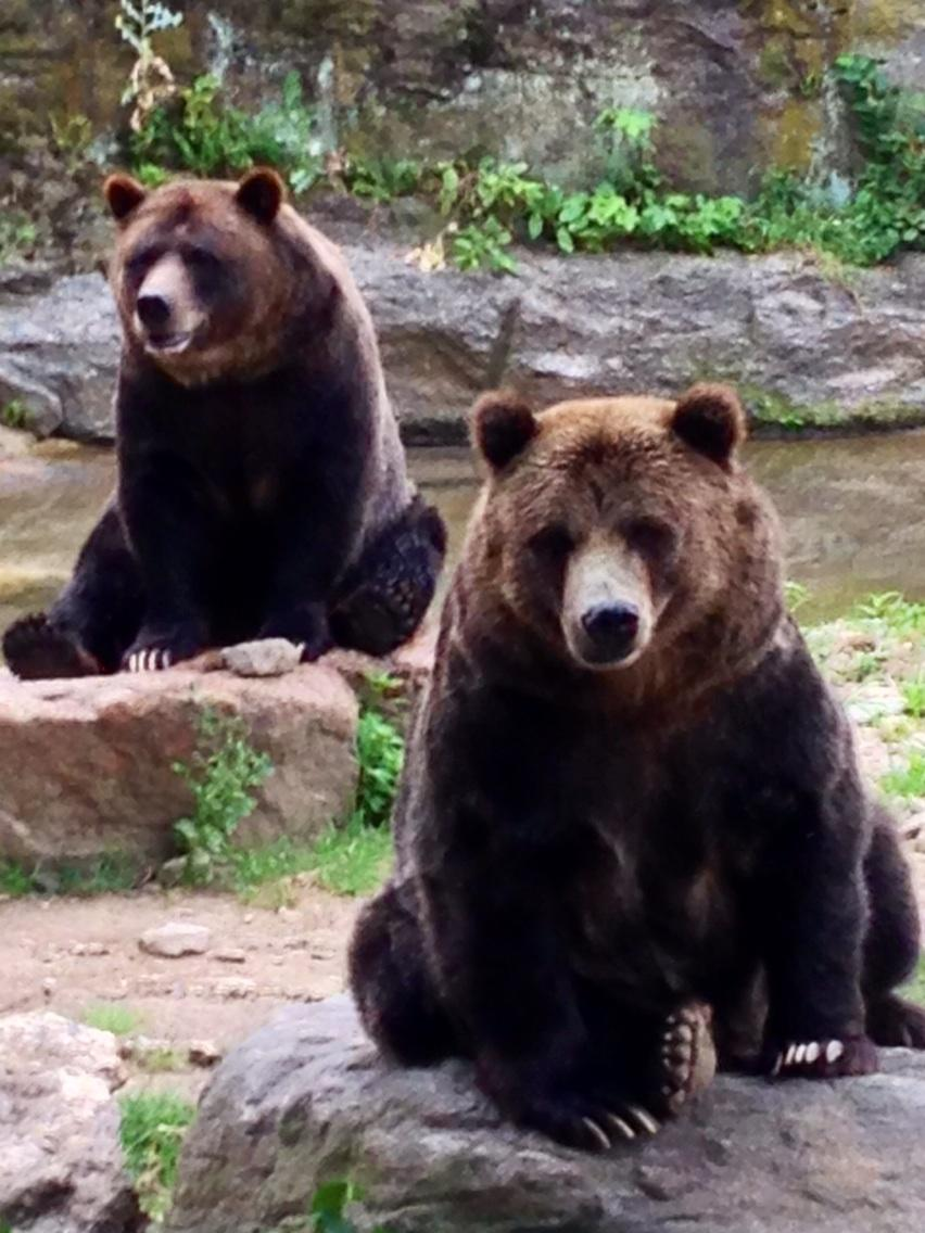 Two magnificent #grizzlybears that were rescue bears taken in as cubs by @TheBronxZoo @TheWCS ~20 yrs ago. http://t.co/dFsNC4xf19