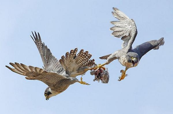 WoW! RT @BirdGuides: Photo of the Week is Robert Booth's sensational capture of Peregrines completing a food pass! http://t.co/01JukgDEAx