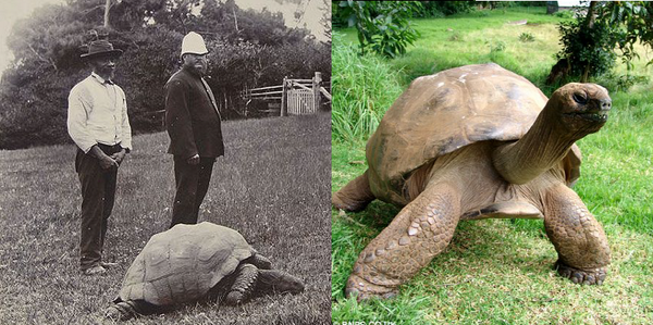 Jonathan the tortoise in 1900 and now. He is 182 years, oldest living land creature known!   http://t.co/LDpcdPSA6z http://t.co/HRRlvJ5Tk9