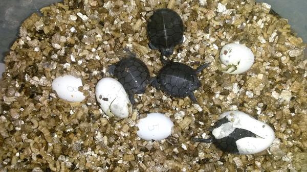 The first hatchlings of 2014! 4 baby Painted Turtles emerged from their shell on August 2nd, 2014. (^_^) http://t.co/39cLtk5Fd8