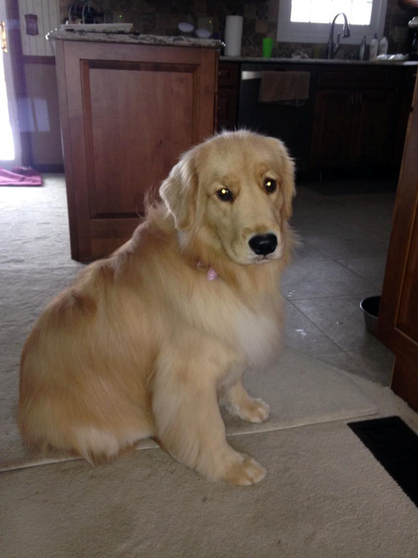 Sarah Swistak (@SarahSwistak): #MISSING Dog: Hannah ran away after a rollover ax on I-96W near Eagle. Pink collar/tags/chipped. Call (517) 230-8846. http://t.co/SKX6nxIOcQ