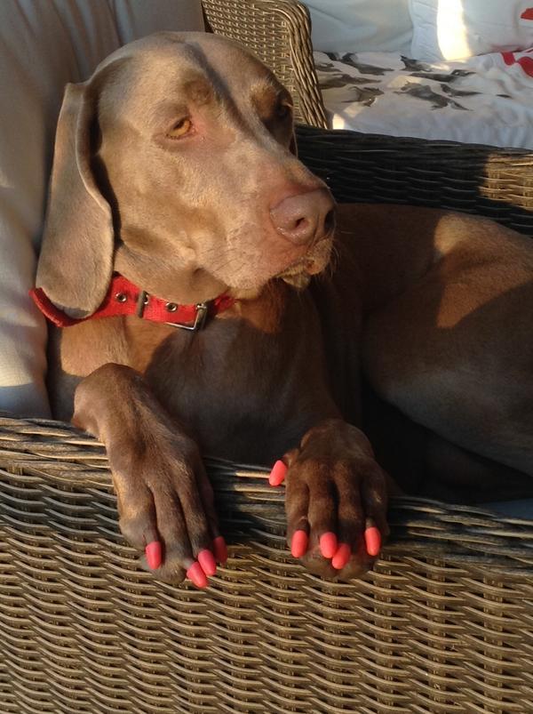 Le compre estas uñas a mi perra Thelma para que cada vez que se emociona cuando me recibe no me rasguñe mas, besos!! http://t.co/KPlbvrerk1