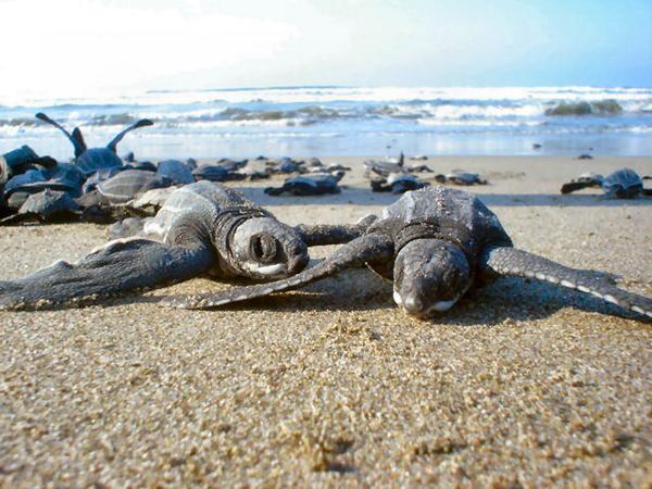 #MeEncantariaQue todos se unieran a la conservación de las Tortugas Marinas en México y apoyaran el #Tortugaton. http://t.co/kW2HNA0EwA
