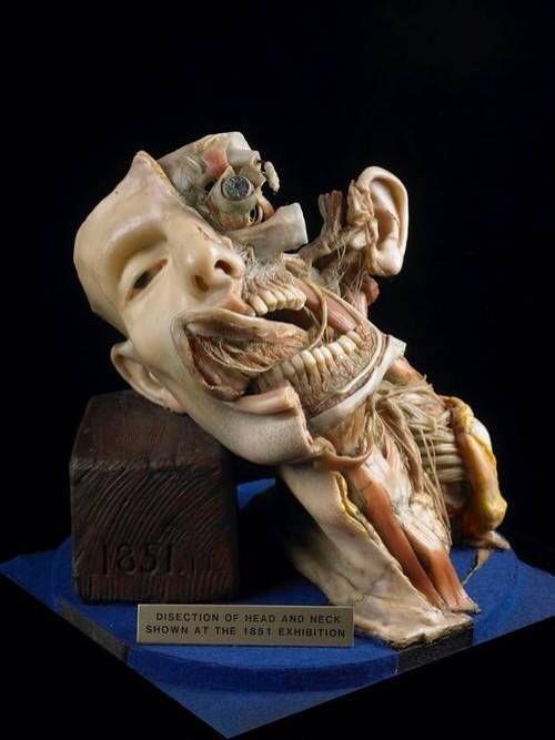 RT @dr_keenan: Wax anatomical model, 1851 #anatomy http://t.co/gAnSaYaP6x via @wunderkamercast #artandanatomy
