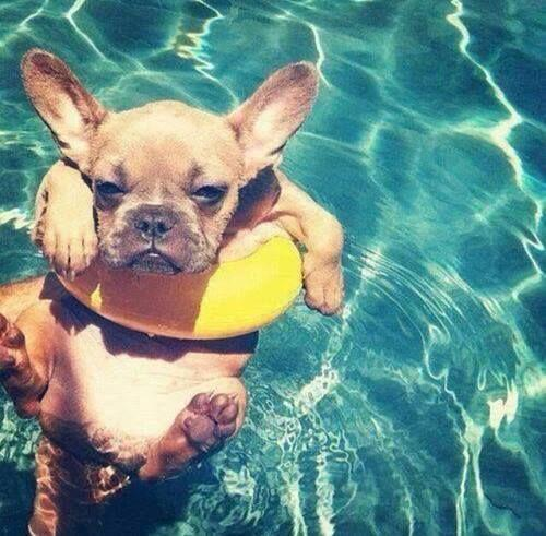 Just the cutest french bulldog in a miniature pool floaty #OMFG!!! http://t.co/Vy9Nr98NHK http://t.co/JJm0b3Dcxb