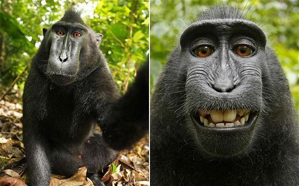 위키피디아가 자신의 사진의 무단 배포를 중단해달라는 사진작가의 요청을 거부. 이유는 작가가 아닌 원숭이가 직접 촬영 버튼을 눌렀기 때문에 저작권은 원숭이에게 있다는 것  http://t.co/me4XcttEZH http://t.co/wWGgwVNl0c