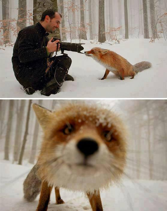 Photographer encounters a curious fox as he walked in the woods. This fox was definitely ready for its close-up. http://t.co/GqxCk0fHov