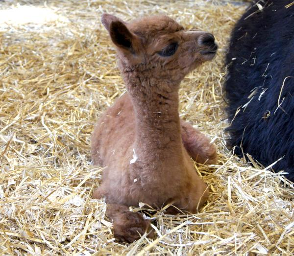 In case you missed it earlier, a new baby alpaca was born here this week. We're all smitten! http://t.co/4aV6z2sVLi http://t.co/Nuxzz10E1c