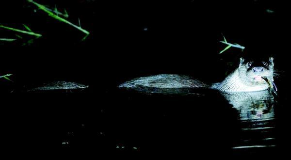 [제12차 생물다양성협약 당사국총회] D-52 무등산에서 수달이 발견됐습니다! 무등산 깃대종*으로 선정된 수달은 천연기념물 제330호이자 1급 멸종위기 야생동물로, 하천생태계의 최상위 포식자로 불립니다. http://t.co/ddICIIU9HD