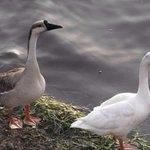 RT @sabiastuque_: El pato es una de las parejas más fieles, cuando elige a su pata, lo hace para toda la vida. http://t.co/gd9ZKrsUSZ