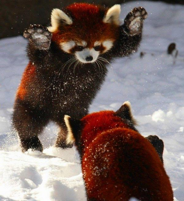 Red Pandas playing in the snow: http://t.co/fyk5Fk2nd6