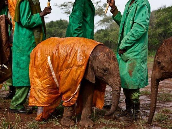 A baby elephant in a raincoat: http://t.co/enbdWkB0ia