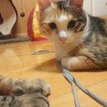 RT #里親募集 #猫 #拡散 @COCORINSUN: 【ハンディをもった猫の家族募集】生後2歳位。3種混合ワクチン済、ウイルス検査(今の所陰性)済。下半身不随なので圧迫排泄が必要。#satooya #大阪 #拡散希望 #里親 https://t.co/8wSnKYUa9A