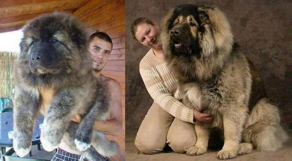 This is just an ordinary Caucasian Mountain Dog! http://t.co/T7xr5RAUhy