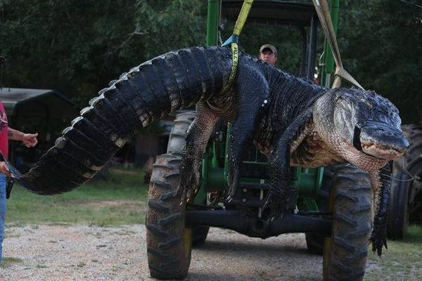 Massive 1011.5lb alligator caught in Hilton Head, AL: http://t.co/6X8WOI5yDO