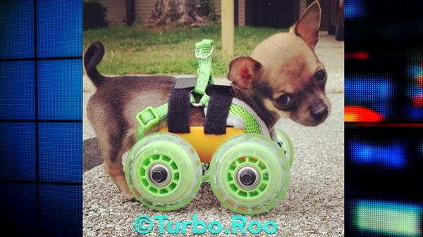 Two legs, too cute: Puppy w/ no front legs gets custom 3D-printed cart | http://t.co/3E2WwGuC6V @RooTurbo @ashleydvo http://t.co/oYVbEG4Tp0