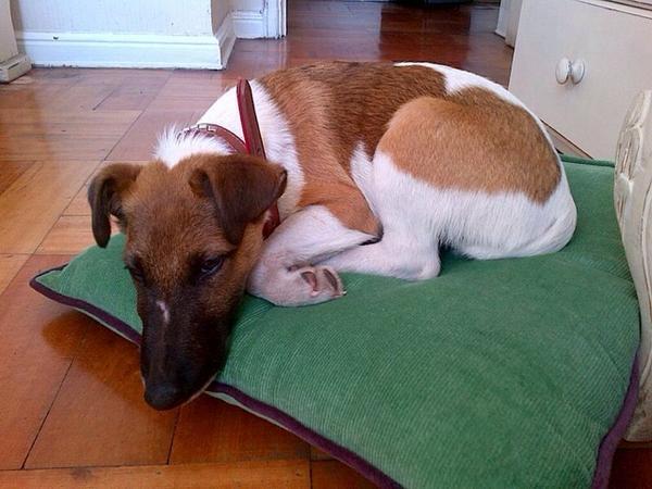 Buscamos a George, perrito perdido en Los Españoles (Pedro de Valdivia Norte) por favor RT. info a @pilarirribarra http://t.co/dT1FKILgk7