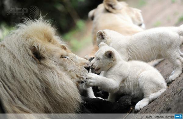 #instantané deux lionceaux blancs jouent avec leur père ...