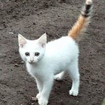 White kitten dipped into a vat of calico . http://t.co/gaPCrXh3xm