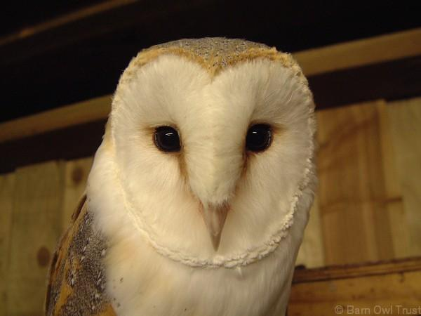 Beautiful Barn Owl pics: http://t.co/wFOmh4UGBR http://t.co/YdwQoJHaWu