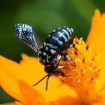 【幸せ呼ぶ】熊本・南阿蘇村に草原を舞う「青いハチ」 http://t.co/ICCX29qVc0 名前は「ルリモンハナバチ」。体長2センチほどで、青いシマ模様があるのが特徴。来月中旬まで見られるという。 http://t.co/1vgf0zsEMa