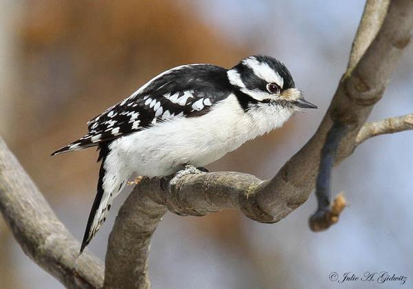 The Midwest Woodpecker Drill Team ~ http://t.co/eKrLF3DJhv #birding #birdwatching #birds #photo http://t.co/TbWtHZG68r