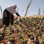 Una mujer palestina usa las bombas de gas lanzadas por el ejército israelí para hacer crecer plantas en ellas http://t.co/QrUEKALK5y
