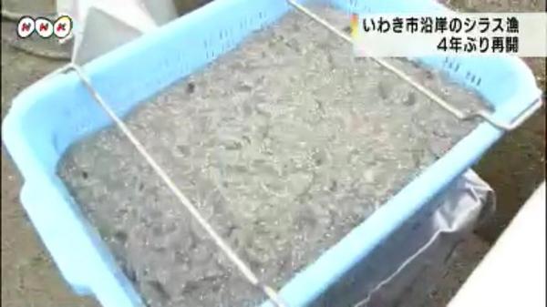 """毎日80億Bq放出中 """"@pecko178: *いわき市沿岸のシラス漁が4年ぶりに再開 http://t.co/HxmhoO9Vjf 汚染水が放出されて禁止されていたシラス漁。今も汚染水は放出されてます。シラスは特に危険。 . http://t.co/R96AYGMpVA"""""""