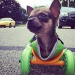 VIDEO: How a two-legged puppy is now able to chase cars http://t.co/TkjeZijvQK http://t.co/24tyCdaQku