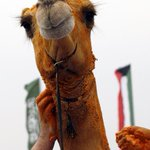 HAPPY HUMP DAY! This camel won a beauty contest and is covered in saffron. Photo: Karim Sahib/Getty Images http://t.co/YAoO58CPWk