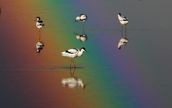 Photo of the Week is Chris Darby's stunning image of Avocets against a rainbow:  http://t.co/r4Xxb3ggzf  Congrats! http://t.co/1DVWVNMXDn