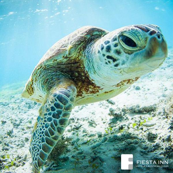 Usa el HT #Tortugaton y apoya la conservación de tortugas marinas, por cada tweet @XelHaPark y @XcaretPark donarán $1 http://t.co/nj6jnEtGr0