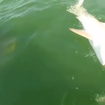 RT @CNNEE: Video de mero gigante que devora de un bocado a un tiburón se vuelve viral http://t.co/yXvXPfetGm http://t.co/OnUuJBqg4a