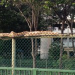 RT @ChannelNewsAsia: Caption this - snake spotted at Braddell before it was caught by ACRES http://t.co/0tBBym5ySP (Pic: Shaliha Rasid) http://t.co/9ctbveJgUc