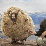 RT @livedoornews: 【超もこもこ】オーストラリアの「脱走羊」を6年ぶり発見 http://t.co/xx4PrBXEYc 6年間伸び放題だった毛の量は25キロにも上るとみられる。発見者「顔まで毛で覆われていて、辺りが良く見えていないようだった」 http://t.co/TICo28Okzx