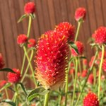 """RT @HomeStyleAustin: Nicknamed """"strawberry fields"""" these heat-lovin Gomphrena couldnt be happier #ATX #Gardening http://t.co/xNPBf5YZYs http://t.co/nC4Fd3BRCe"""