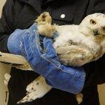 RT @cmartinez400: Sad News. DCs very own Snowy Owl was found dead on a Minnesota Hwy. @nbcwashington http://t.co/96q4b3NVCR