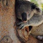 """""""@ecuavisa: Un bombero salva la vida de un koala con respiración boca a boca http://t.co/MgQo1Avz3a http://t.co/NbGkv2PT7W"""" @Geanella_Flores"""